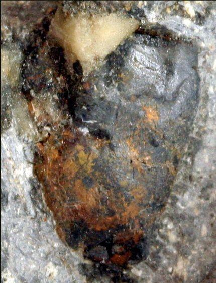 图为1991年在日本北九州市小仓南区发现的恐龙牙齿化石系属日本珍惜恐龙角龙的牙齿化石