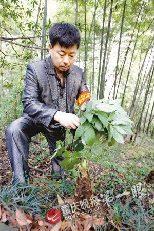 守护员找了些杂草为竹笋做伪装