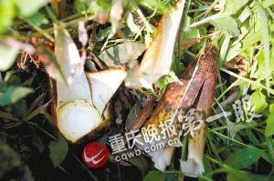北碚区府附近道路的竹笋惨被人搬走留下一堆笋壳