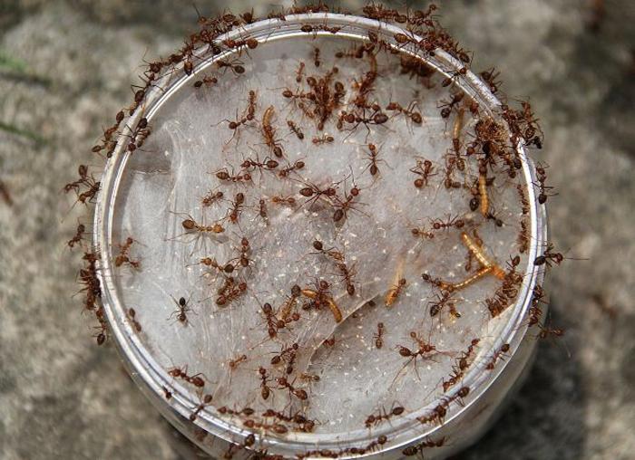 蚂蚁/印尼工人培育蚂蚁卵(网页截图)...