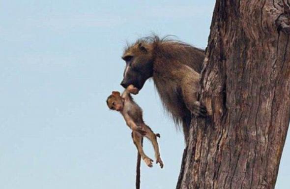 狒狒父亲狮子口下勇救幼崽_狒狒父亲狮子口下勇救幼崽影师记录感人父爱一幕(组图