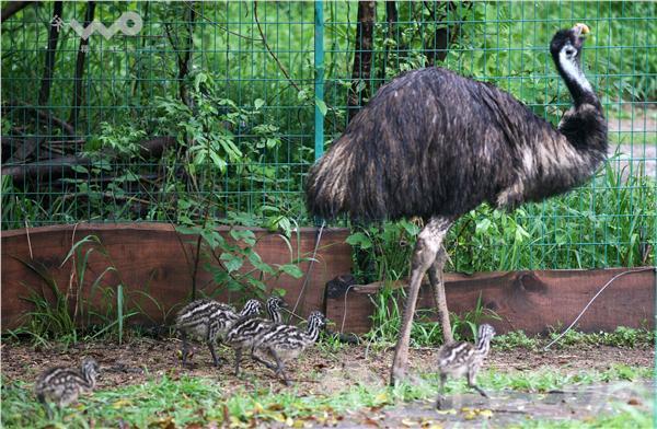 近日,南京红山森林动物园饲养的鸸鹋在自然环境下孵化出5只小鸸鹋。鸸鹋又名澳洲鸵鸟,成熟期达3年,一只成年雌鸟在每年的11月至翌年4月产蛋,每批产蛋在20枚左右,由雄性鸸鹋负责孵化,孵化期约60天,在此期间雄性鸸鹋几乎不吃不喝,雌性鸸鹋则在外围警戒。雏鸟出壳后,仍由雄性鸸鹋照料近2个月。   作者:金陵倦风来源江苏网络电视台)