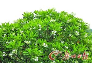 在南沙红树林之中,能够找到与芒果外观相似的海芒果,图为海芒果树。