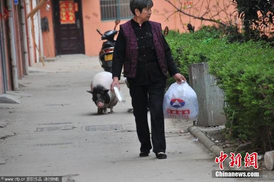 江苏老太养180斤宠物猪 散步遛弯不离左右(图)