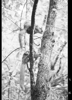 明溪/棕鼯鼠...