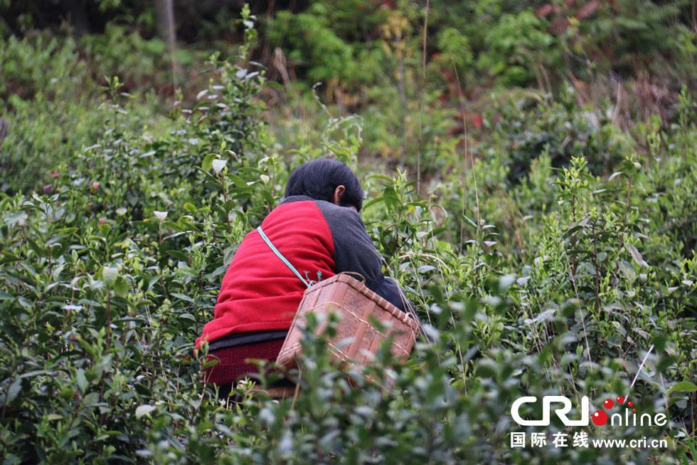 采茶人的背影.摄影 陈杰-高山上的采茶人