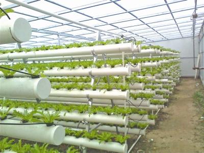 图为水培蔬菜种植大棚内景。 张园摄