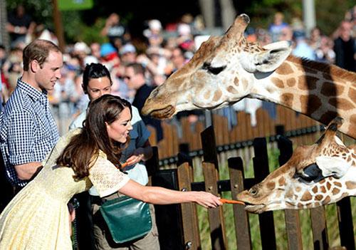 威廉王子夫妇喂长颈鹿