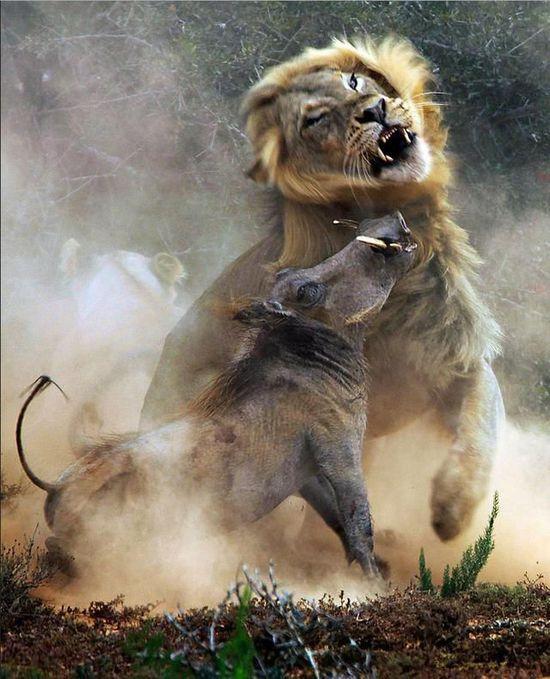 野生动物保护区内,捕捉到一只疣猪(非洲野猪的一种)被狮子猎食全过程.