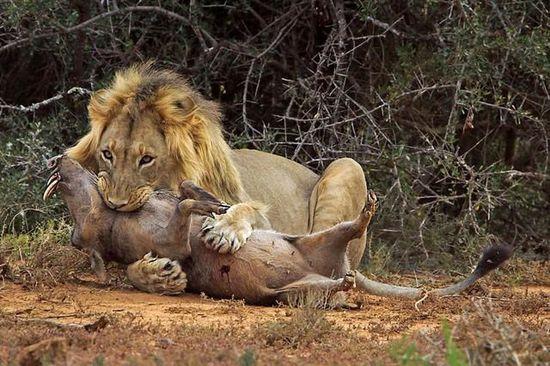 龙虎网讯 摄影师在南非东开普省的一座野生动物保护区内,捕捉到一只疣猪(非洲野猪的一种)被狮子猎食全过程。这头原本在野外闲逛的疣猪不小心吵醒了附近的睡狮,横冲直撞中弄错了方向,再次闯入狮子领地,最终被狮子咬死。   疣猪,主要分布在非洲大陆,因面部有疣而得名,其嘴角长有4颗獠牙,令人望而生畏。由于面目狰狞,被认为是世界上十大最丑动物之一,在自然界中天敌为狮子等。图为狮子被突然冲来的野猪吵醒,大发起床气。   疣猪的獠牙是最犀利的武器,稚嫩的猎豹随时会被它刺伤甚至刺死,但面对狮子时却没有反抗余地。不过,