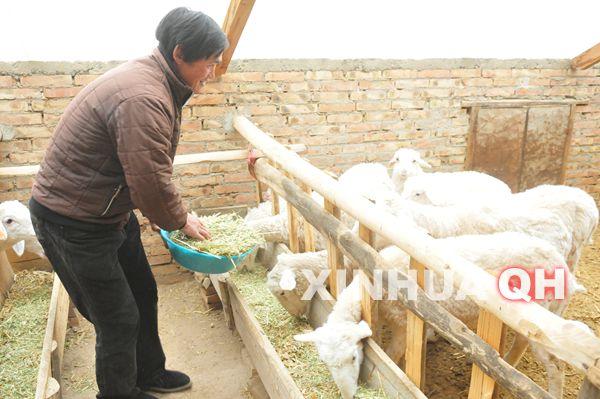 4月24日,乔增福给羊添加饲料