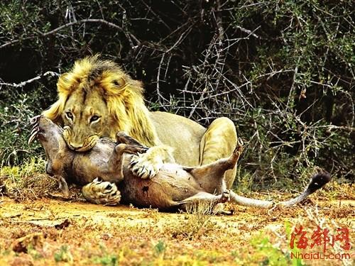 狮子咬死鳄鱼_狮猪大战(组图)-搜狐滚动