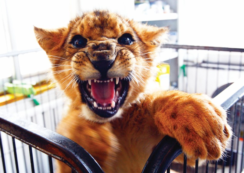 昨日,记者从青岛森林野生动物世界获悉,去年从韩国返回青岛的母狮,于一周前顺利产下1雄4雌5只健康的小狮子。母狮一次产5子,这可并不多见,是目前园区狮子产仔中最多的一次,预计7月份这些小家伙就能与游客见面。 记者 孙笑天五只狮子嗷嗷待哺   昨日上午10时许,记者来到青岛森林野生动物世界育幼室.