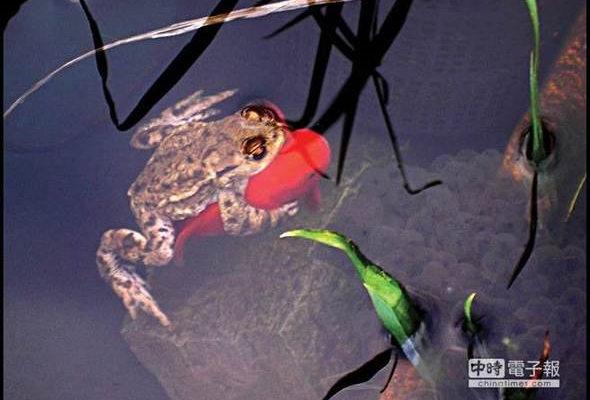 莲花池里的金鱼青蛙简笔画