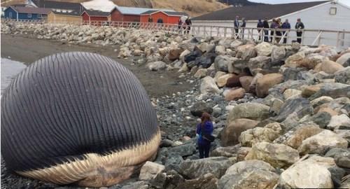 游客不顾危险,走进观察搁浅蓝鲸