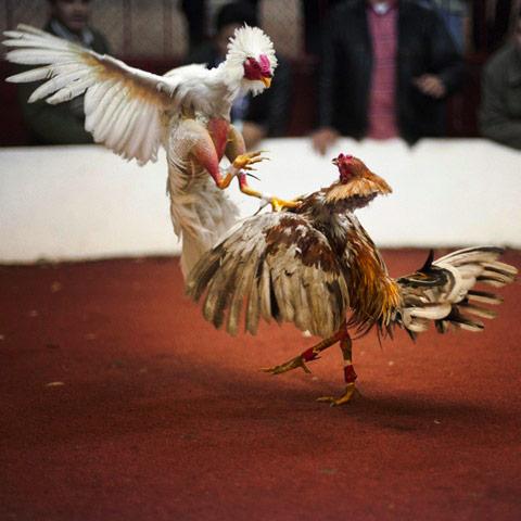 血腥的斗鸡运动