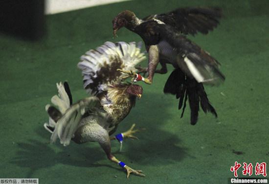哥伦比亚斗鸡比赛火爆上演精彩纷呈