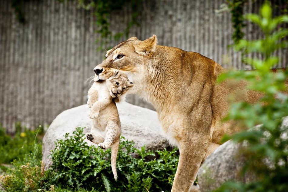 狮子妈妈和她的四个宝贝,美国纽约布朗克斯动物园
