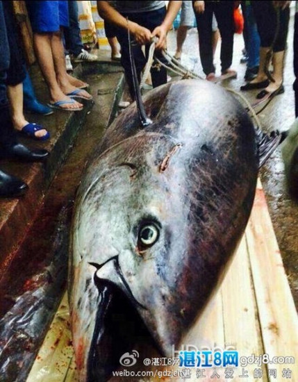 图片显示大鱼身长超过普通男子