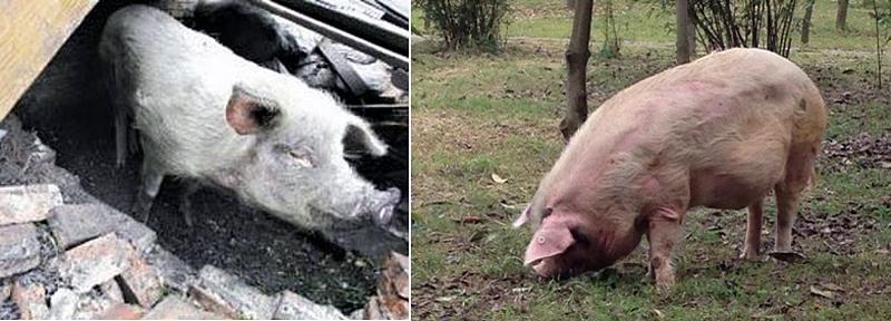 两只猪的合影-汶川地震 猪坚强 已7岁 其故事感动多人