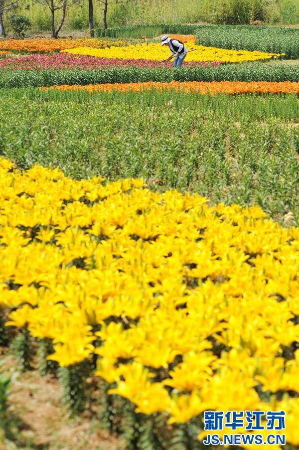 5月22日,园林工人正在对西双湖风景区内精心栽植的百合花进行管理.