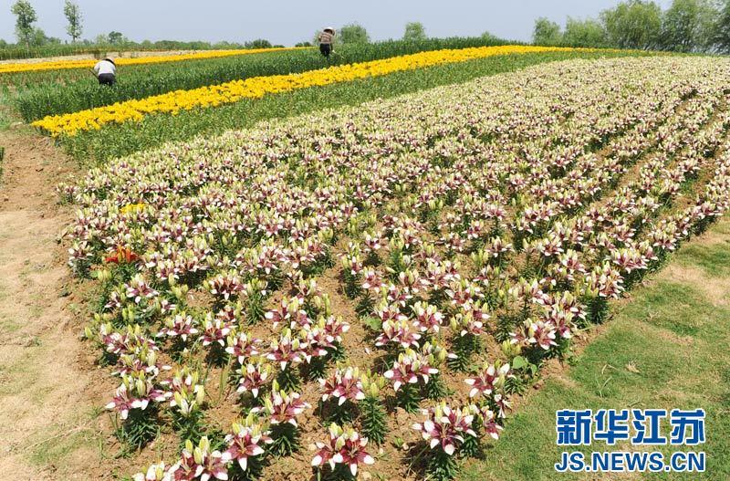 连云港西双湖风景区 百合主题公园争奇斗艳(组图); 全国最大百合主题