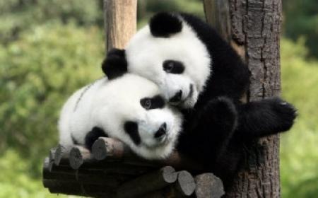 """中国租借给马来西亚的两只大熊猫""""凤仪""""和""""福娃""""21日抵马。"""