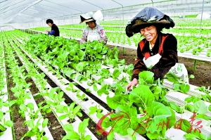 增城永宁街无土栽培基地,几名农妇正在收割蔬菜,种菜的基质主要成分是炭,肥料通过水槽导入。