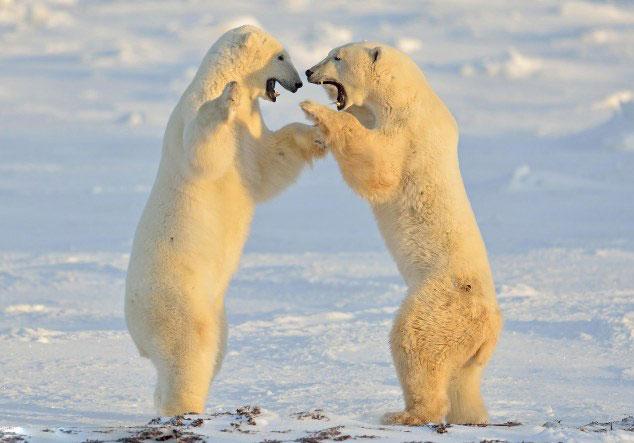 """加北极熊雪原相拥""""跳舞""""展惬意v雪原(组图)形容蝙蝠的图片"""