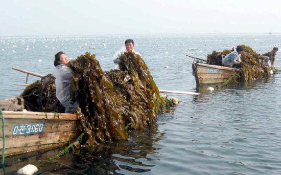 海带是怎么样养殖的?
