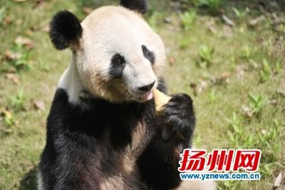 """动物园大熊猫黑猩猩吃粽子 矮马羊驼戴上""""鸭蛋篓"""""""