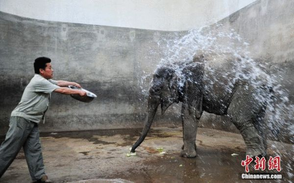 """济南遭遇高温 大象冲""""冷水"""