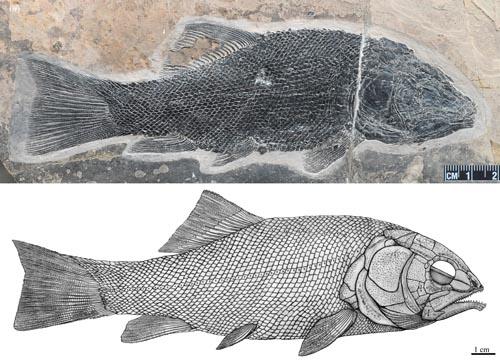 罗平强壮鱼(Robustichthys Luopingensis)正型标本(IVPP V18568)和复原图