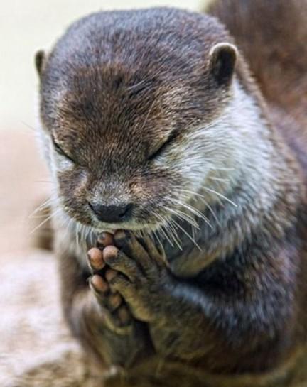 瑞士水獭饭前祈祷照 网友惊呼:水獭卖萌水平不可小觑