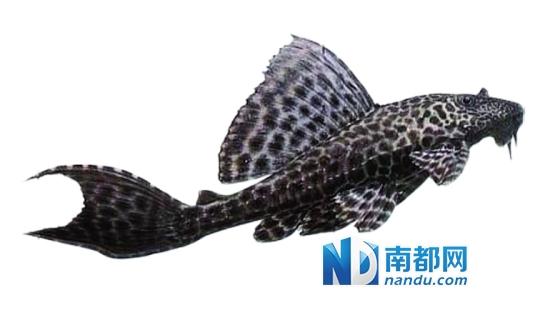 本次活动放生的鱼苗60多万尾,成鱼10250公斤。南都记者 田飞 摄