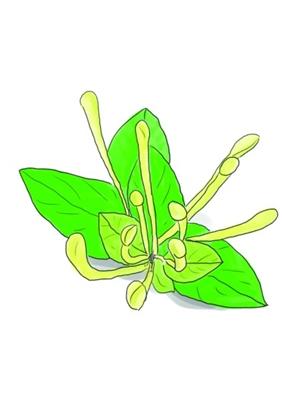 金银花(组图)