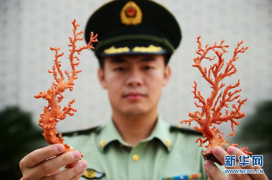 6月9日,在福建省宁德市边防支队营区,民警展示查获的红珊瑚。