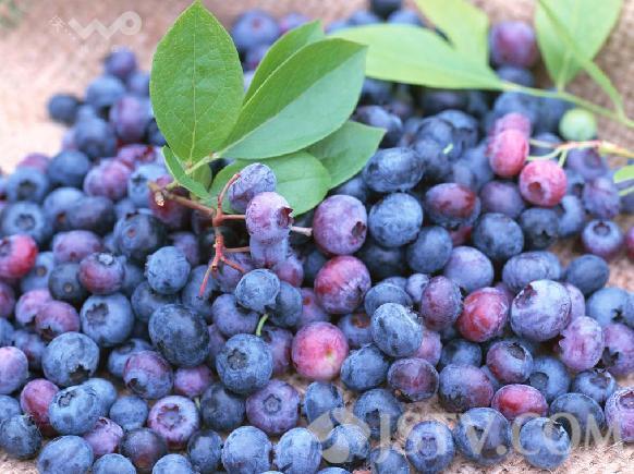 鲜蓝莓上市 味好价位高