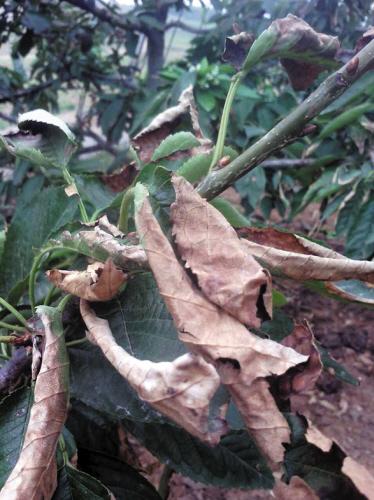 数百棵大樱桃树枯叶谁知道这是咋回事?(图)图片
