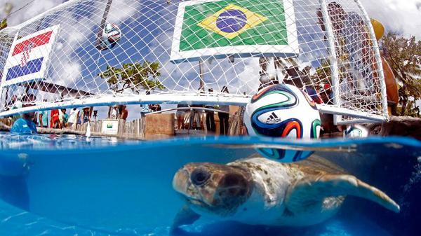 南美海龟预测 世界杯揭幕战巴西队将获胜
