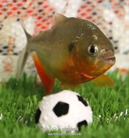 世界杯预测新神器!食人鱼贝利欲接班章鱼保罗