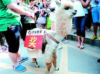 12日,山师附中考场外,一只小羊驼(人称网络神兽)上阵宣传。本报记者 周青先 摄