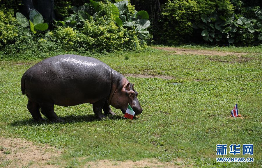 6月18日,大猩猩明明预测喀麦隆与克罗地亚平局。 4年前,德国奥伯豪森水族馆的章鱼保罗在南非世界杯期间大出风头,准确预测了8场比赛的结果。本届巴西世界杯期间,广州长隆野生动物世界与搜狐社区合作举办了动物预测世界杯活动,熊猫隆隆、大猩猩明明、河马小欢、小老虎波比、大羚羊贝贝等动物明星悉数出场争当预测帝,每场比赛的预测信息和视频都会在比赛日的北京时间下午3点向网友发布,接受检验。新华社记者梁旭摄