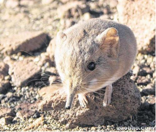 在纳米比亚古老火山地区发现的长鼻鼠毛色偏褐色,容易隐藏在山区环境中。