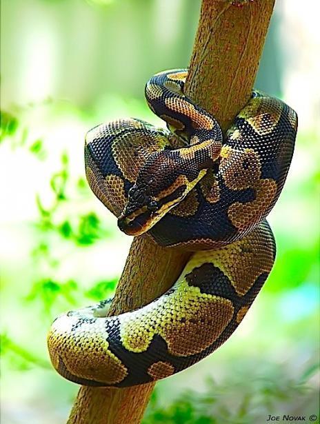 5种最流行的宠物蛇:玉米蛇颜色变化叹为观止/图(1)_科学探索_光明网