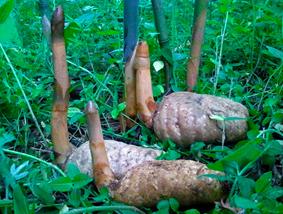 彝良县有机乌天麻产业发展