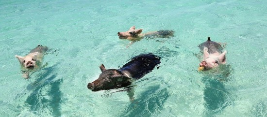 """""""游泳猪""""下水冲浪向游客讨食(图)图片"""