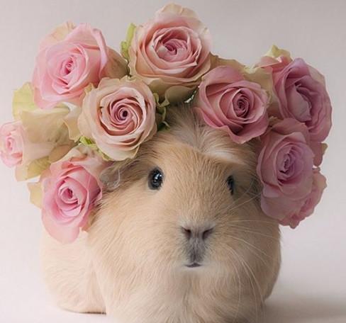 萌物小表情网上走红无辜表情惹人疼(组图)图不能豚鼠包的笑图片