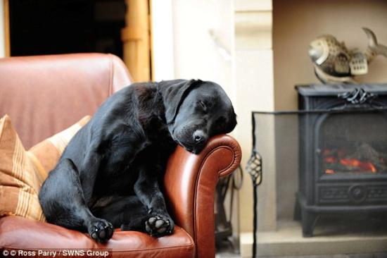 一只黑色拉布拉多在沙发上睡觉