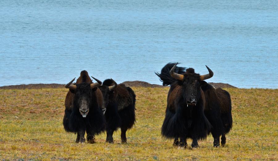 西藏羌塘国家级自然保护区内的野牦牛(6月27日摄)。   经过20年的管理和保护,西藏羌塘国家级自然保护区内的野牦牛等野生动物数量增长明显。保护区的统计数据显示,目前羌塘自然保护区内野生动物的数量已经达到历史最高水平,野牦牛已由保护前的6000多头恢复到现在的6万头。新华社记者 普布扎西摄来源新华社)